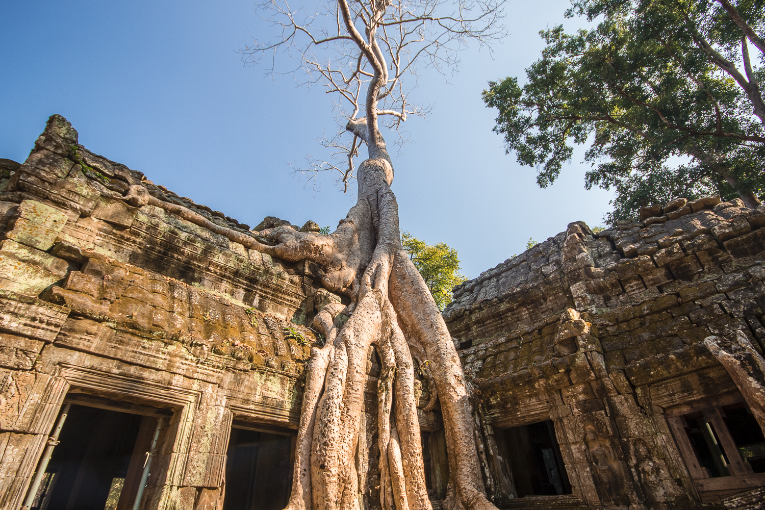 Racines de fromagers sur les temples d'Angkor, Cambodge
