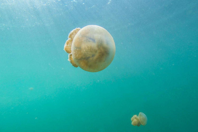 Lac aux méduses, Iles Togian, Sulawesi, Indonésie