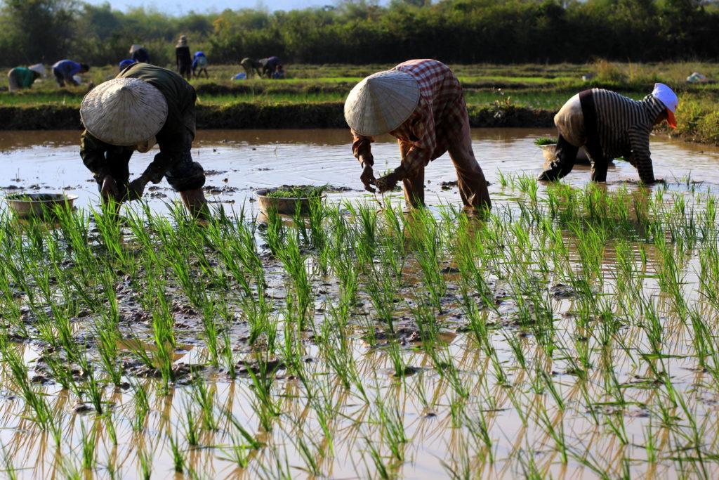 Planteurs de riz dans les rizières sur la route de Champasak, Laos