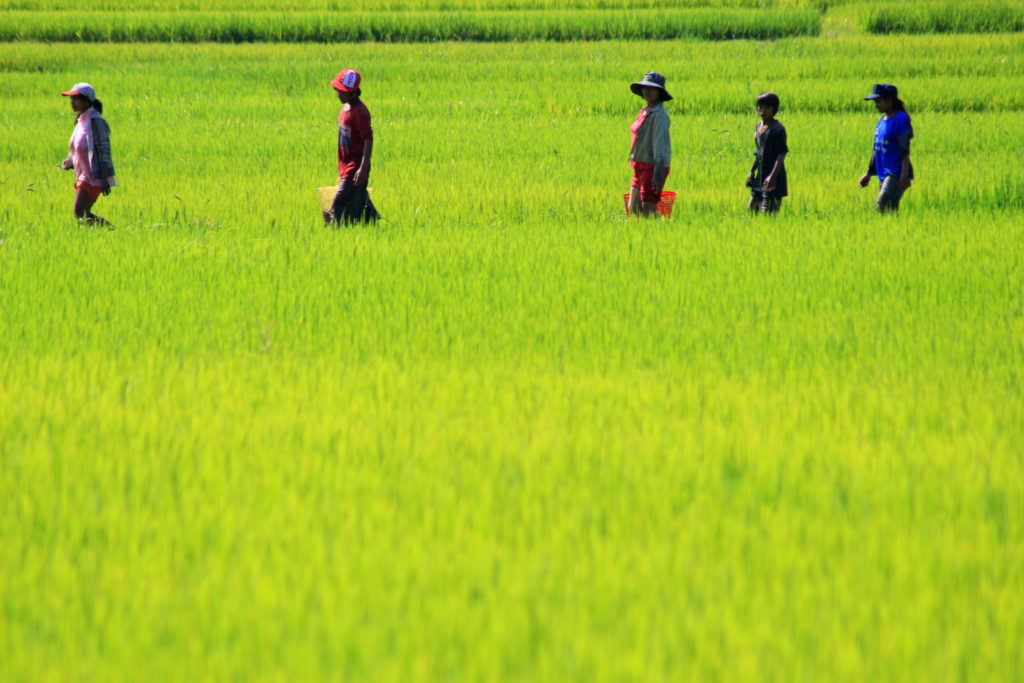Dans les rizières vers Nha Trang, Vietnam