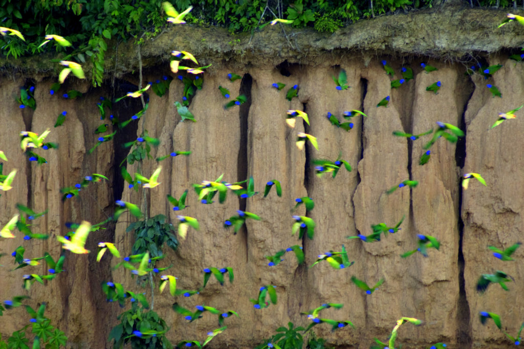 Falaise aux perroquets, Rio Tambopata, Amazonie, Pérou