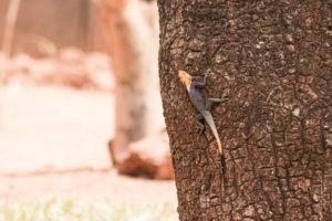 Lézard rouge et noir du Burkina Faso