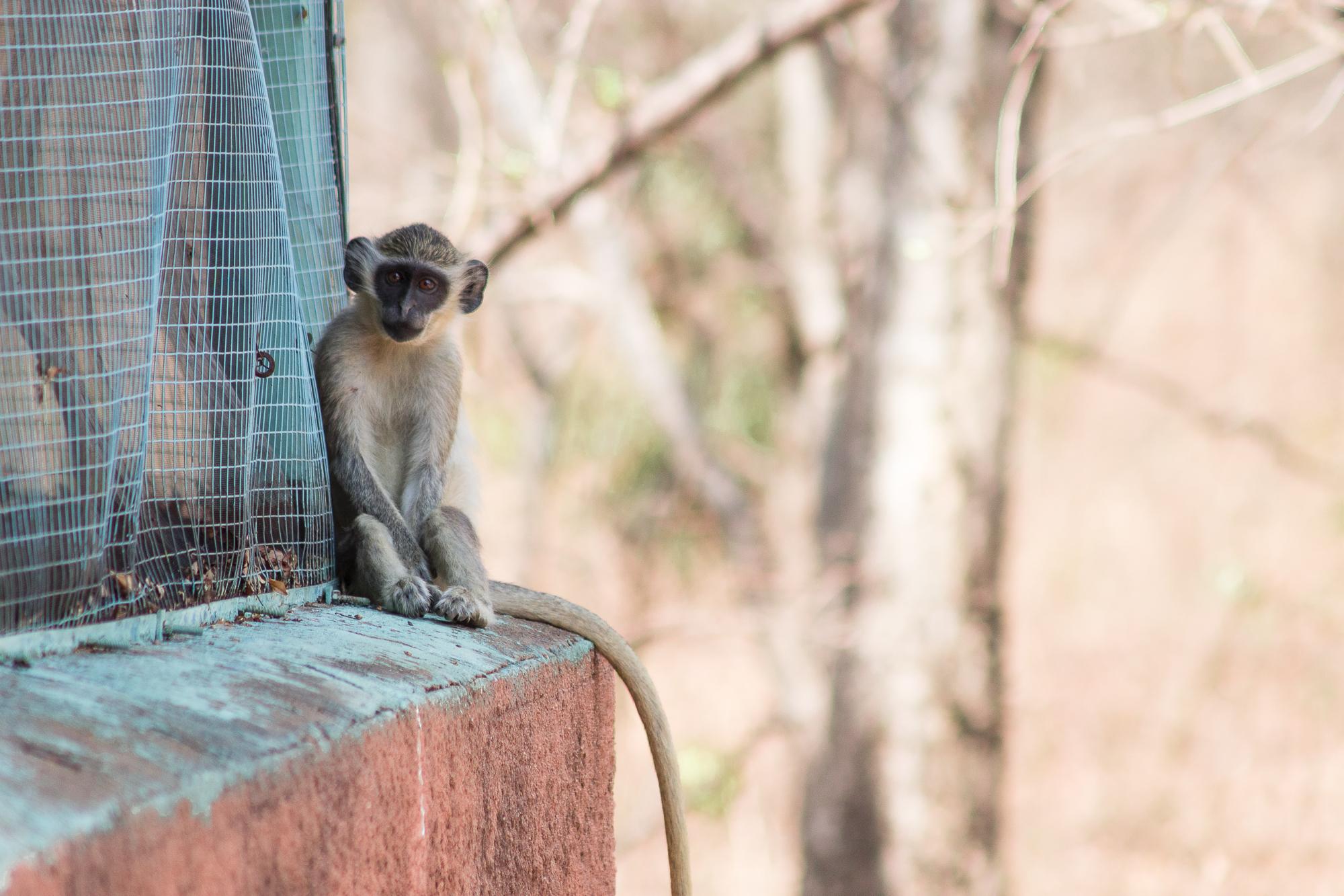 Singe vert dans la réserve de Nazinga, Burkina Faso