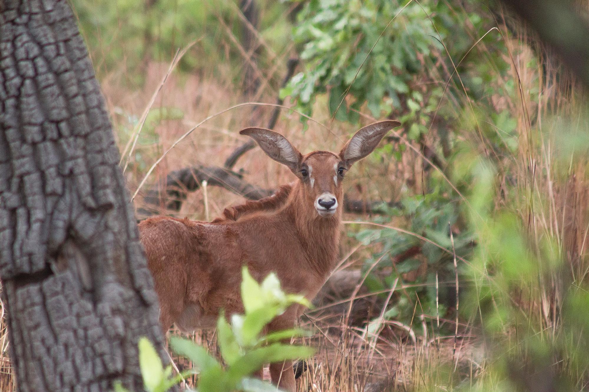 Antilope cheval ou hippotrague dans la réserve de Nazinga, Burkina Faso