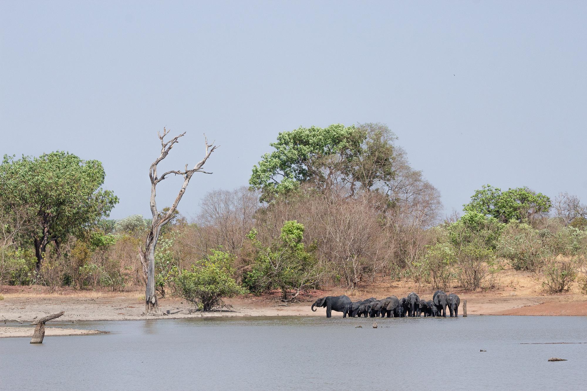 Le bain des éléphants dans la réserve de Nazinga, Burkina Faso