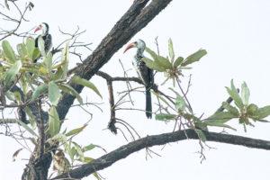 Calaos à bec rouge posés sur une branche d'arbre dans la réserve de Nazinga, Burkina Faso
