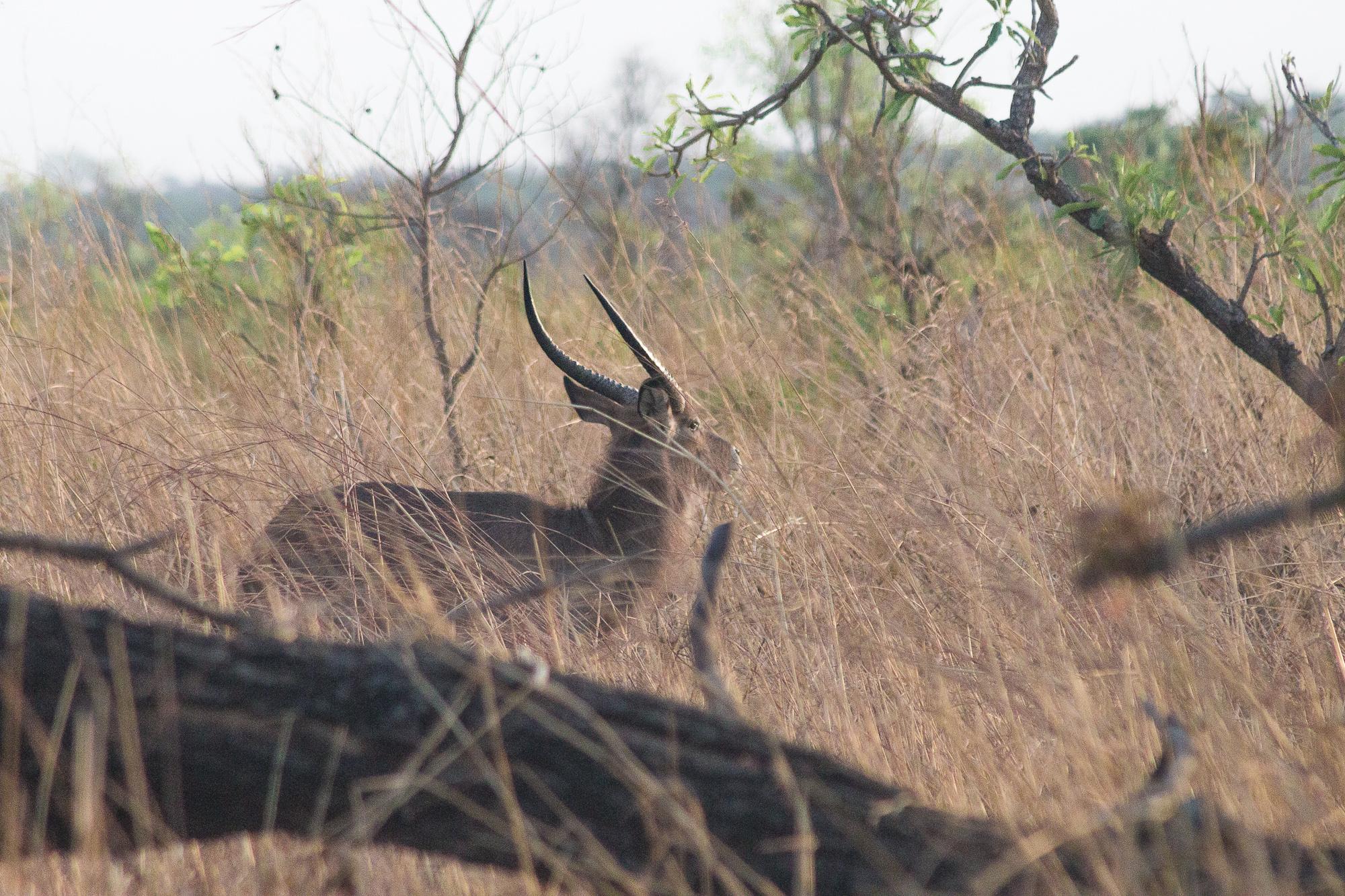 Antilope Cobe de fassa dans les hautes herbes de la réserve de Nazinga, Burkina Faso
