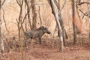 Jeune phacochère dans la brousse de Nazinga, Burkina Faso