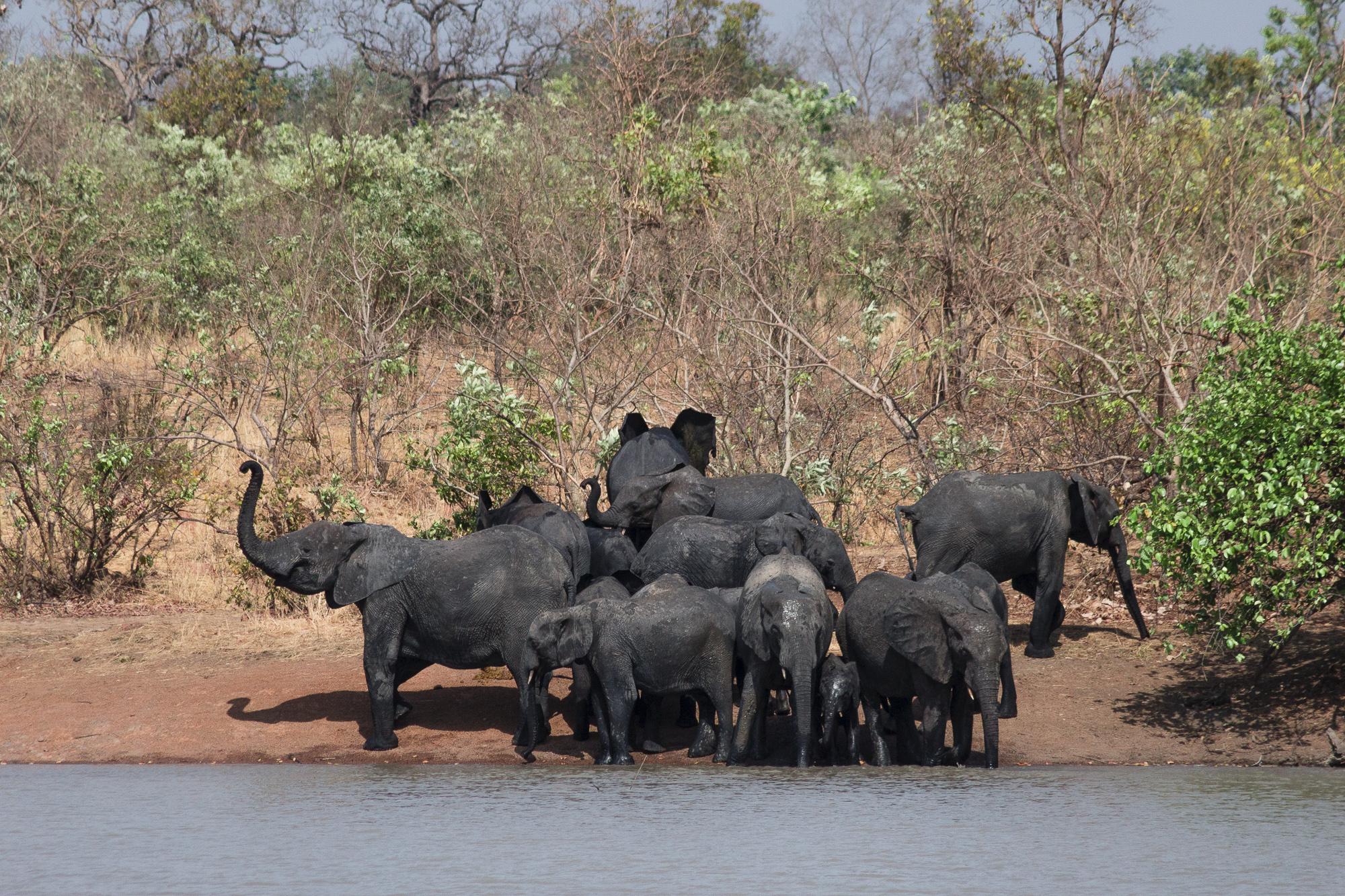 Eléphants s'abreuvant au bord d'un lac dans la réserve de Nazinga, Burkina Faso