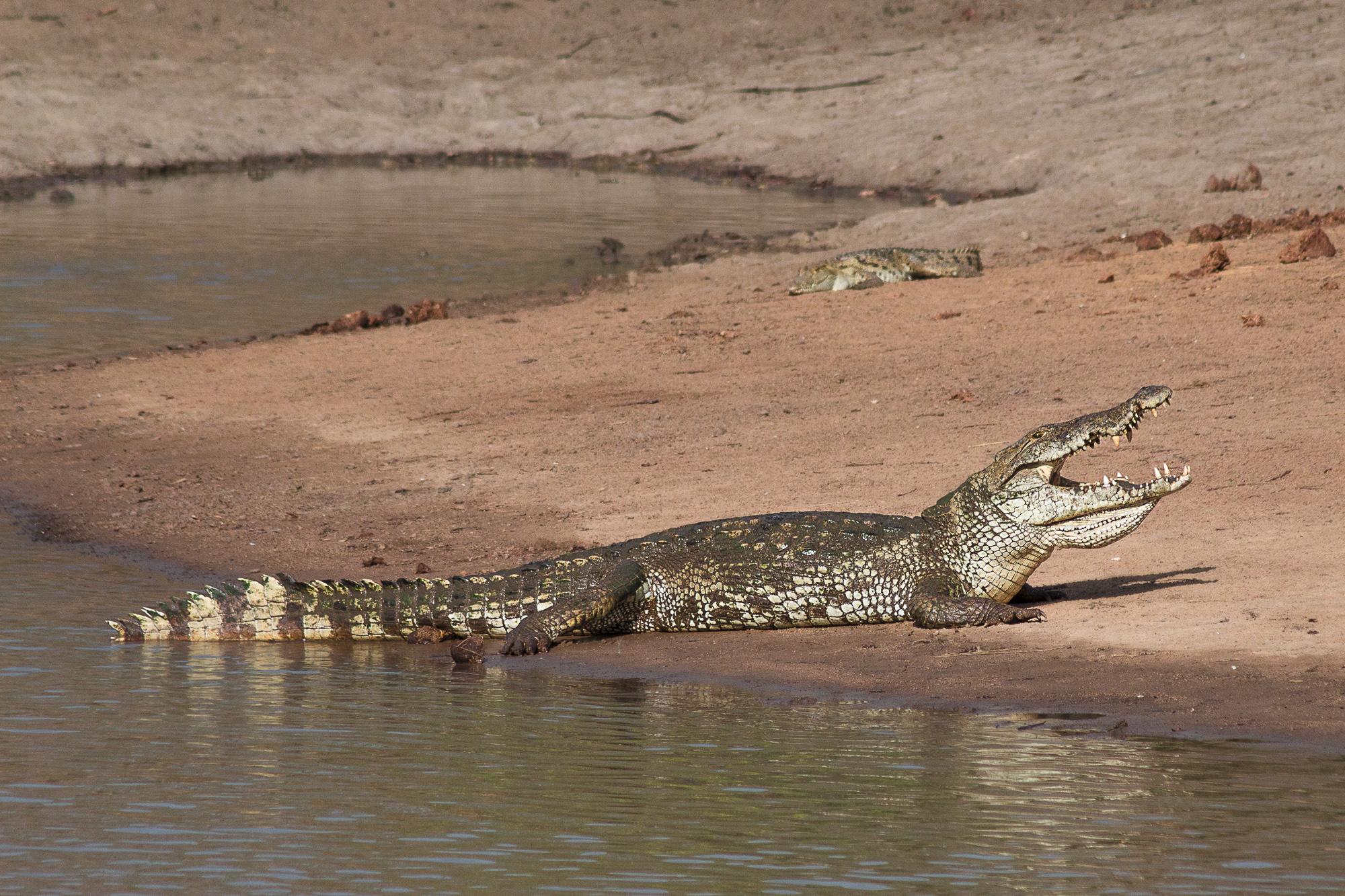 Crocodile se faisant sécher sur les berges d'une mare dans la réserve de Nazinga, Burkina Faso