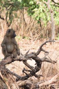 Babouin assis sur une branche d'arbre dans la réserve de Nazinga, Burkina Faso