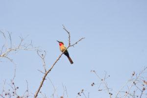 guêpier à gorge rouge dans la réserve de Nazinga, Burkina Faso