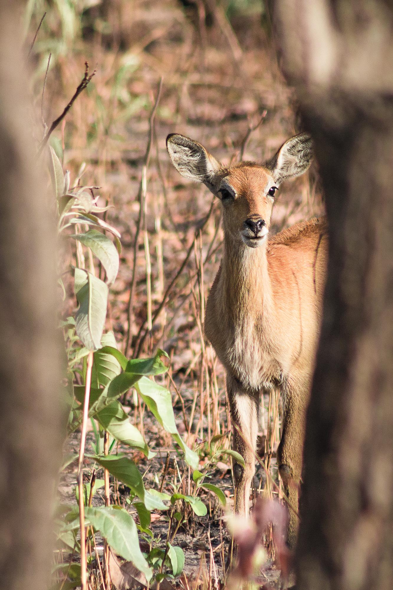 Antilope Cobe de Buffon dans la réserve de Nazinga, Burkina Faso