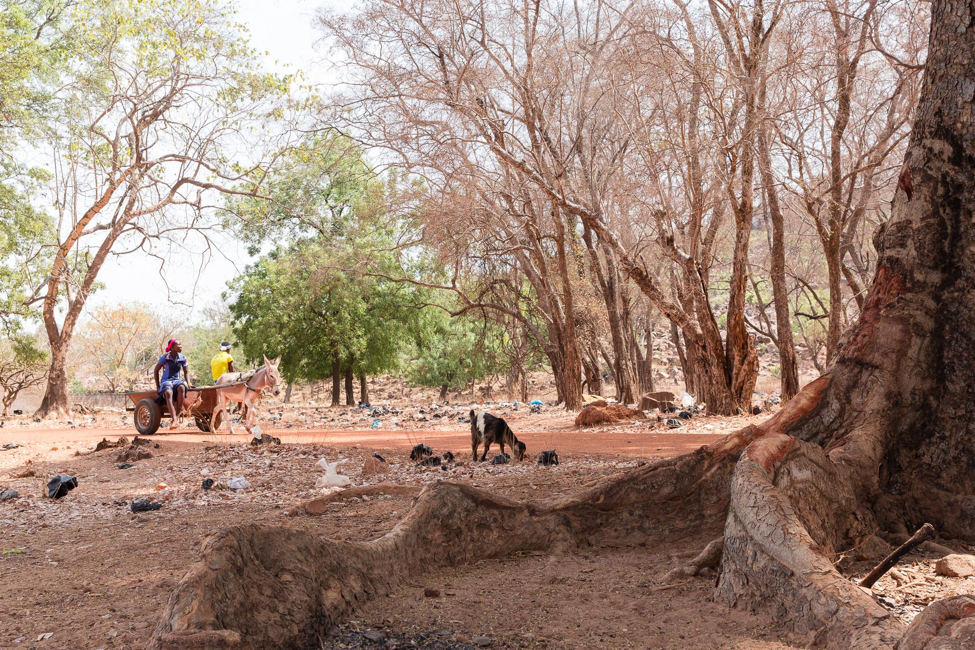 Couple sur une carriole tirée par âne paCouple sur une carriole tirée par âne passant devant les grosses racines d'un arbre, Burkina Fasossant au pied des grosses racines d'un arbre