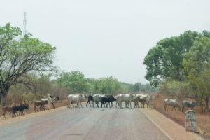 Traversée d'un troupeau de zébus sur la route du Ghana, Burkina Faso