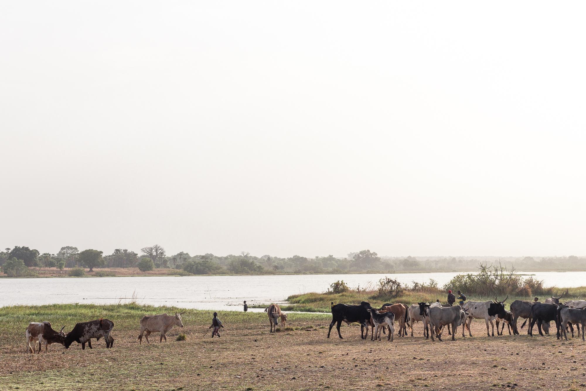 Troupeau de zébus dans la lumière de fin de journée sur les bords du lac de Tengrela, région de Banfora, Brukina Faso