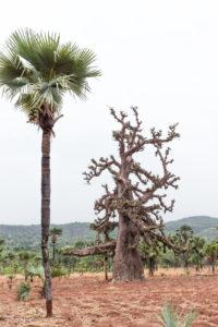 Palmier et baobab dans la région de Banfora, Burkina Faso