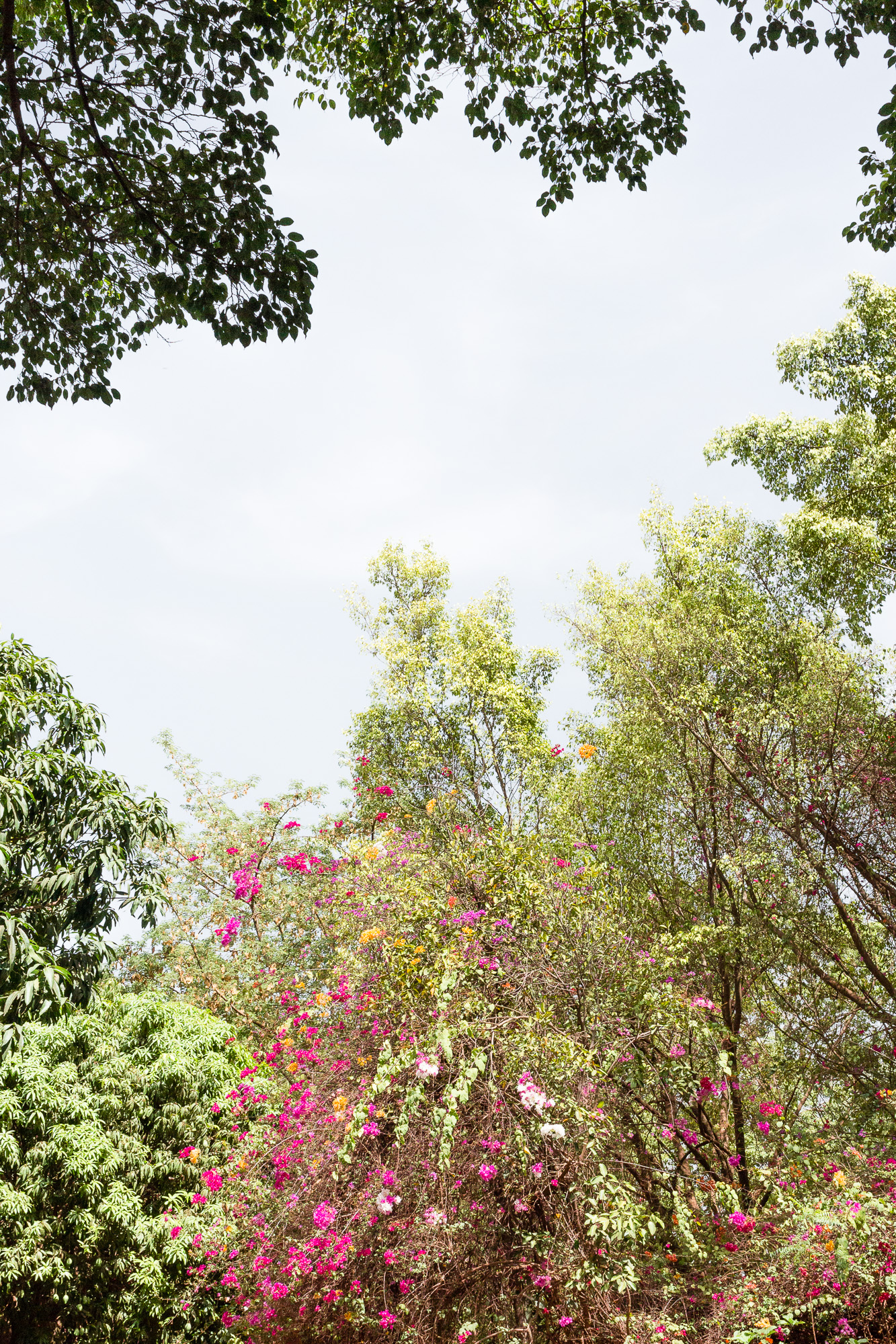Bougainvilliers et végétation luxuriante de l'Hôtel Canne à Sucre, Banfora, Burkina Faso