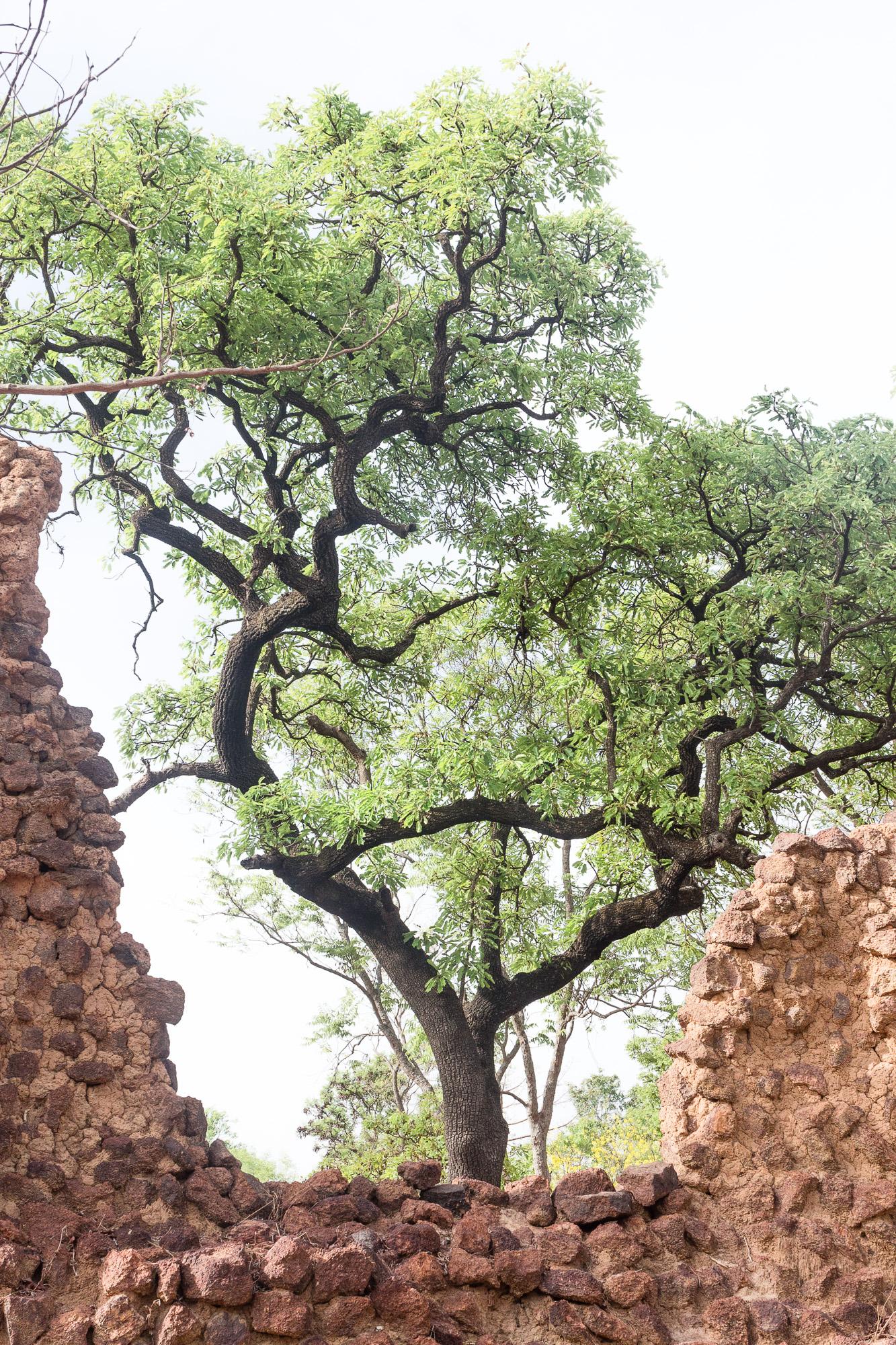 Arbre au milieu des ruines de Loropeni, Burkina Faso