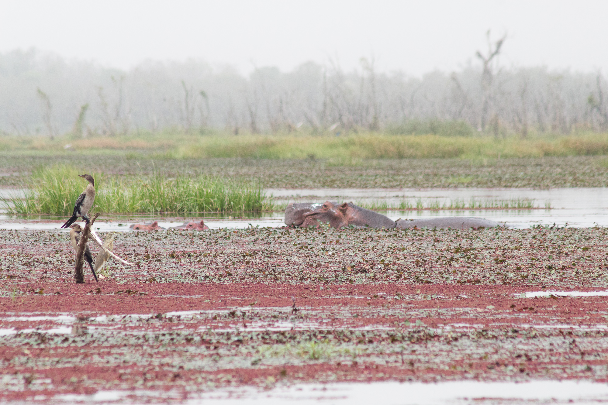 Oiseau perché sur un tronc d'arbre et femelle hippopotame avec ses deux petits, mare de Bala, Burkina Faso