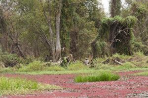 Jungle sur les rives de la mare de Bala recouverte d'algues rouges, Burkina Faso