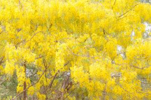Acacia jaune, Burkina Faso