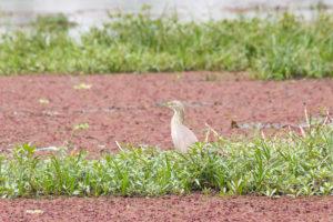 Héron crabier sur les algues rouges de la mare de Bala, Burkina Faso
