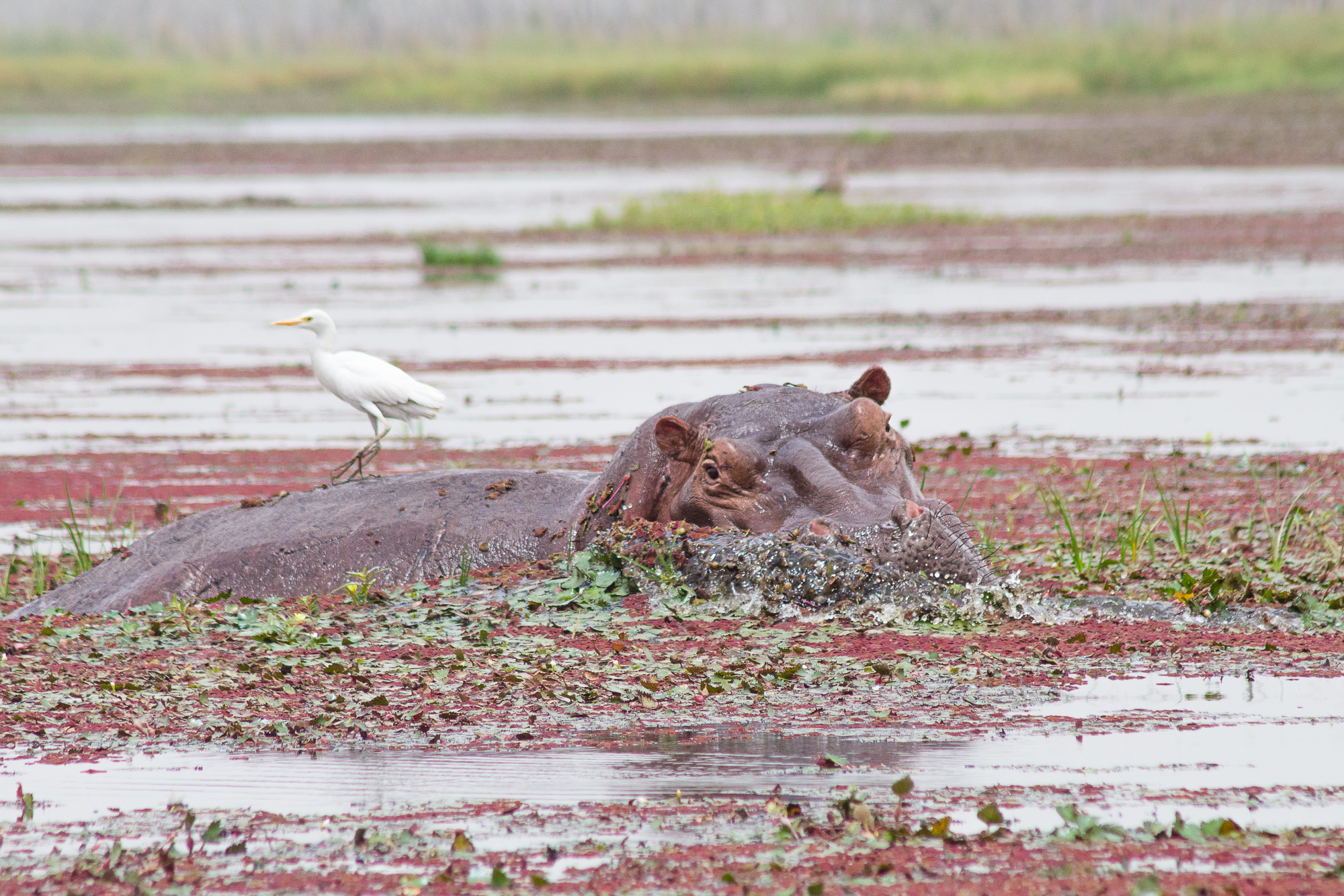 Hippopotame sortant de l'eau avec son oiseau pique-boeuf, mare de Bala, Burkina Faso