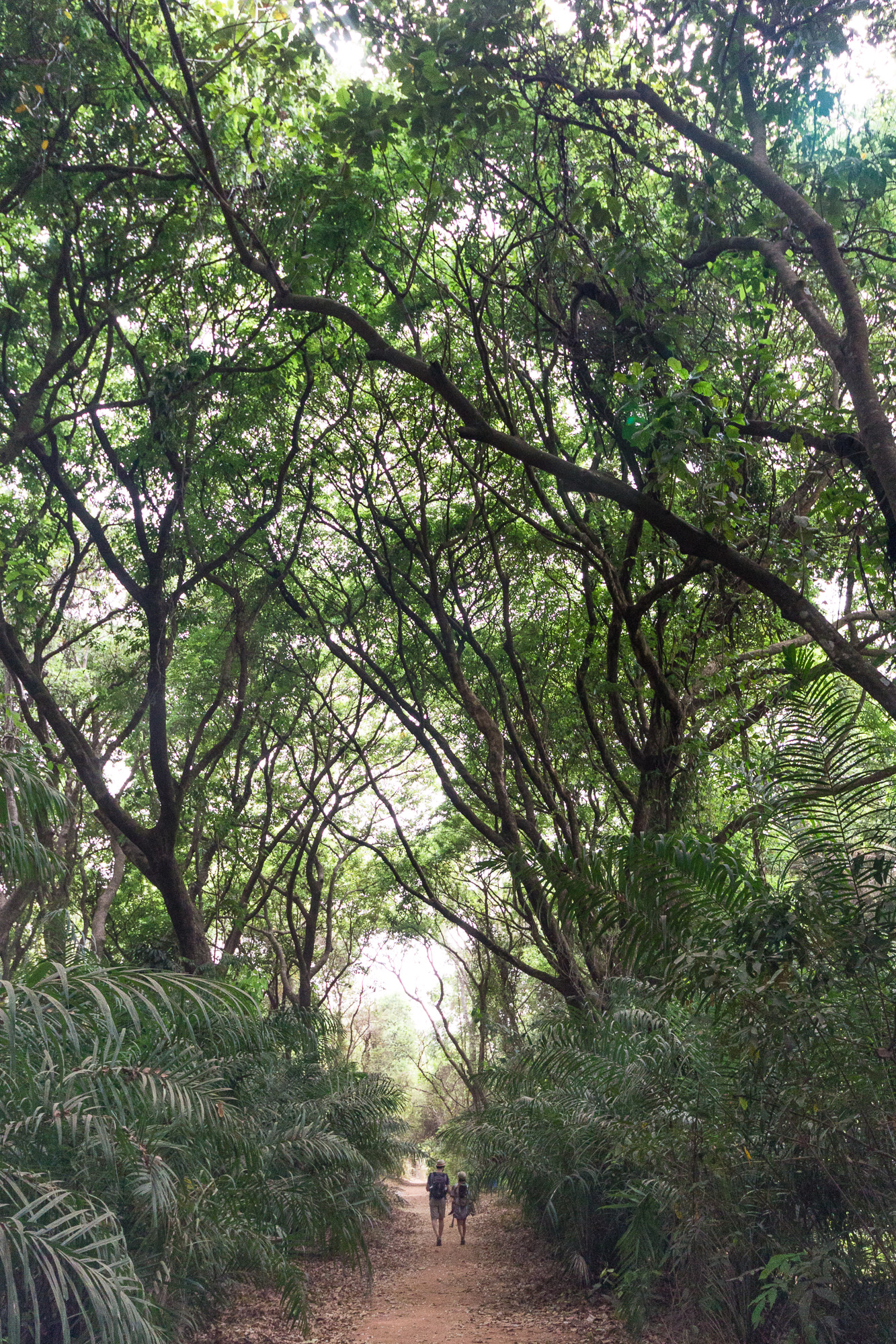 Grands arbres de la forêt-galerie de Kou, Burkina Faso