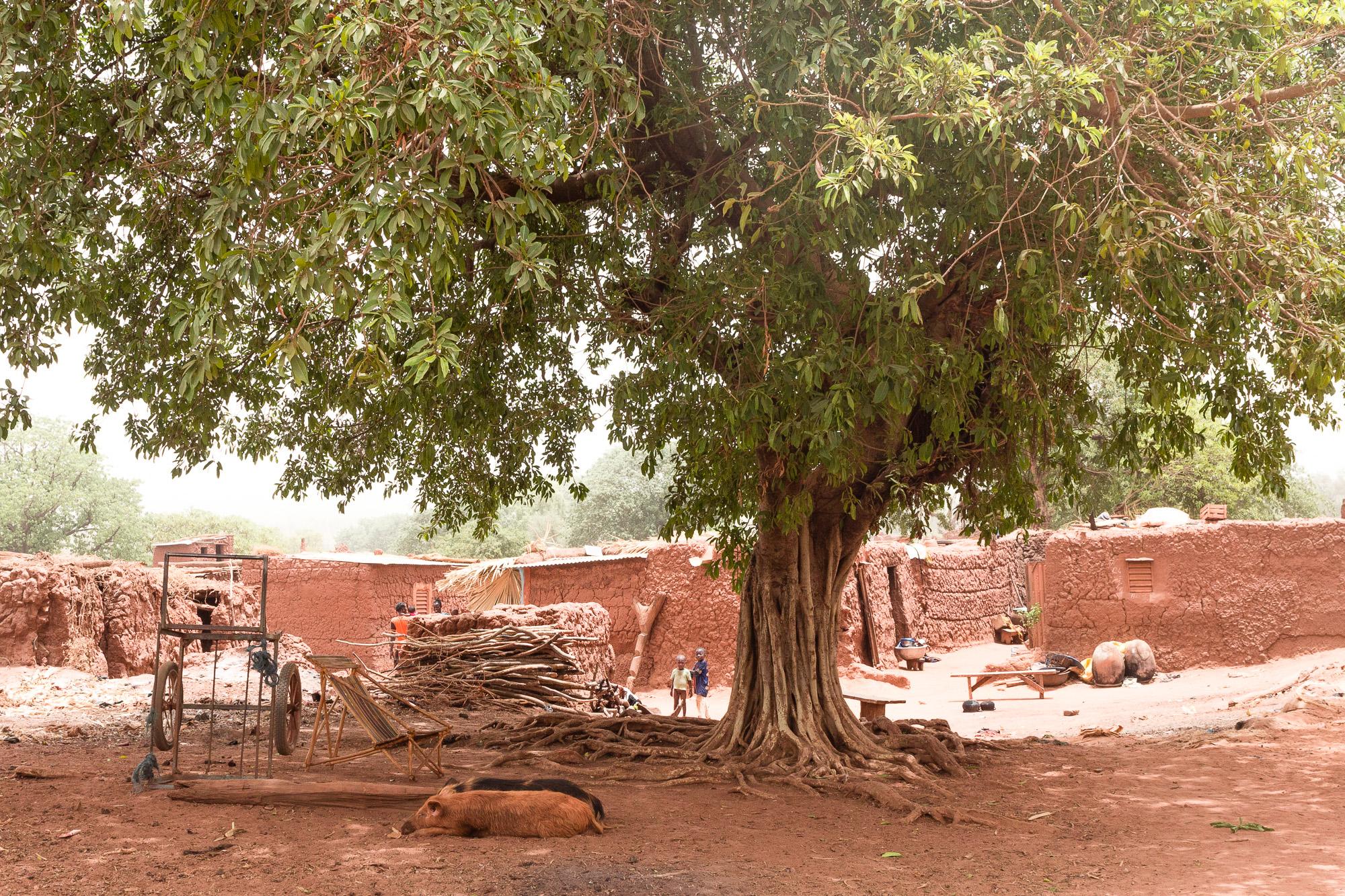 ficus dans le village traditionnel Bobo de Koumi, Burkina Faso