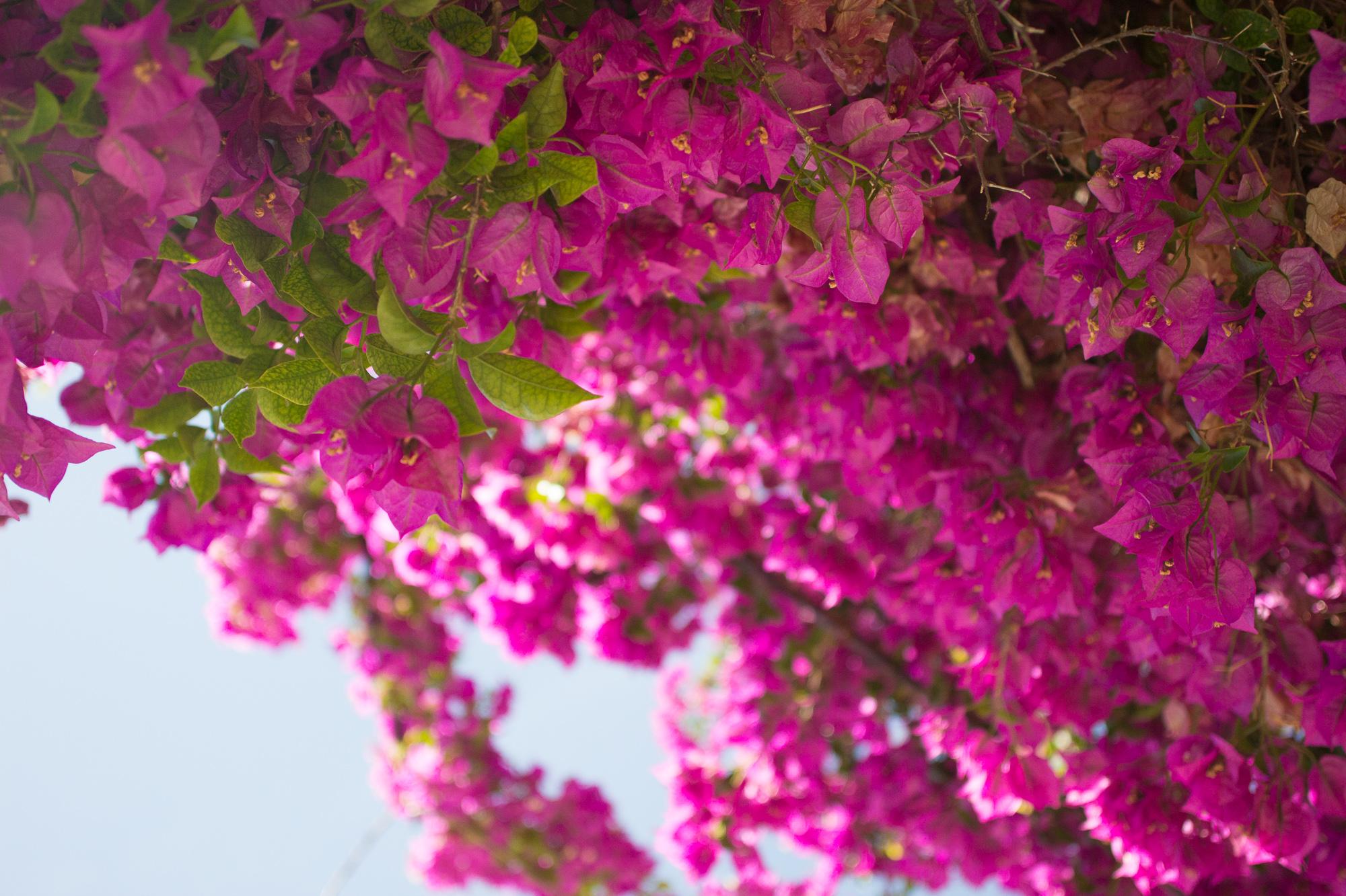 Fleurs de bougainvilliers, mirador de Santa Lucia, Lisbonne, Portugal