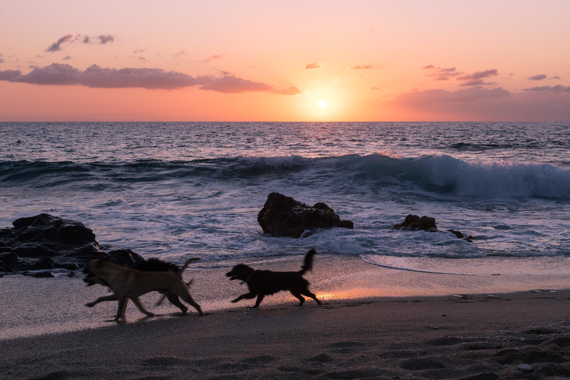 Chiens jouant au coucher du soleil sur la plage de Boucan-Canot, La Reunion