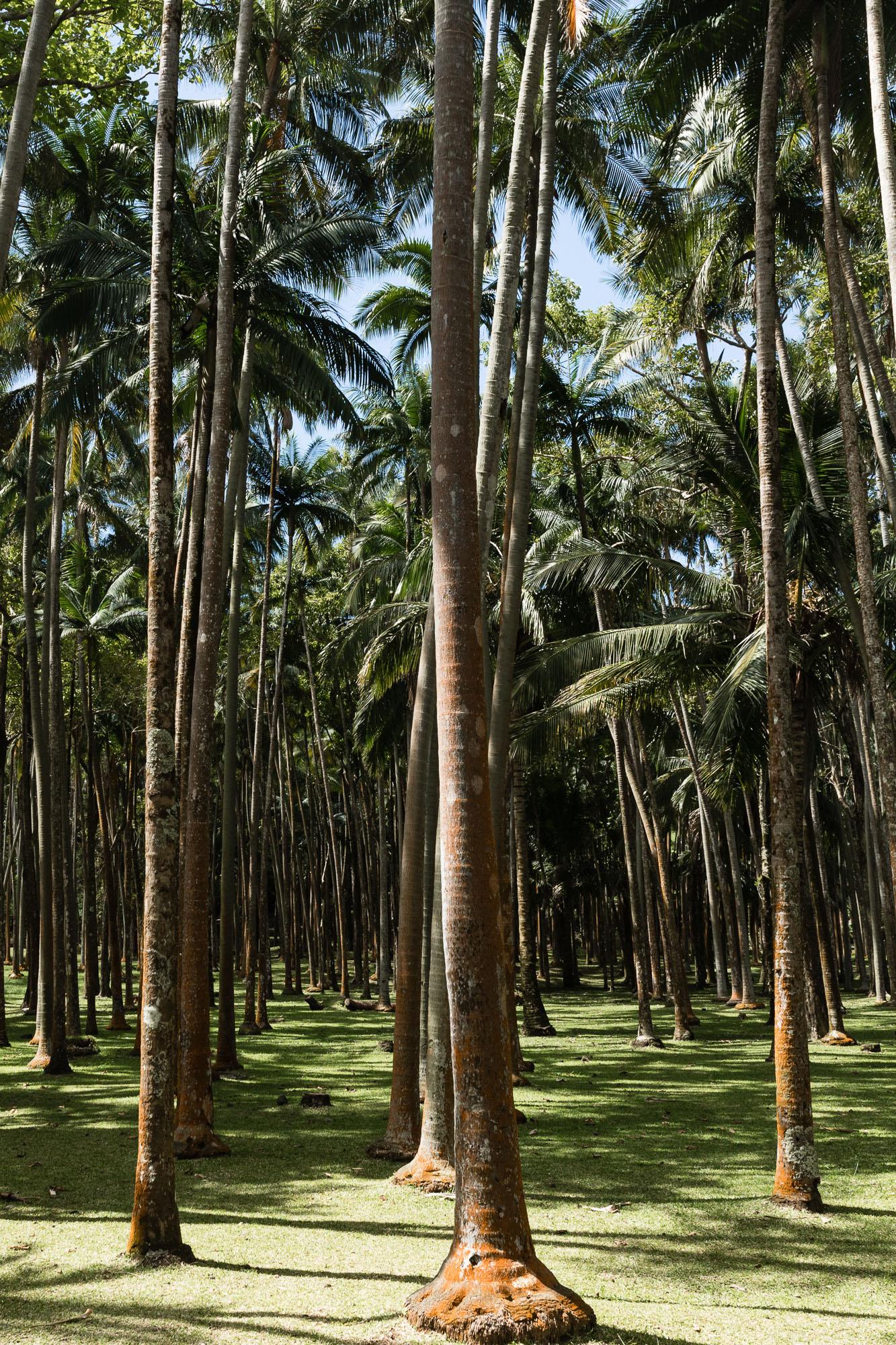Palmiers, palmeraie, anse des cascades, la réunion