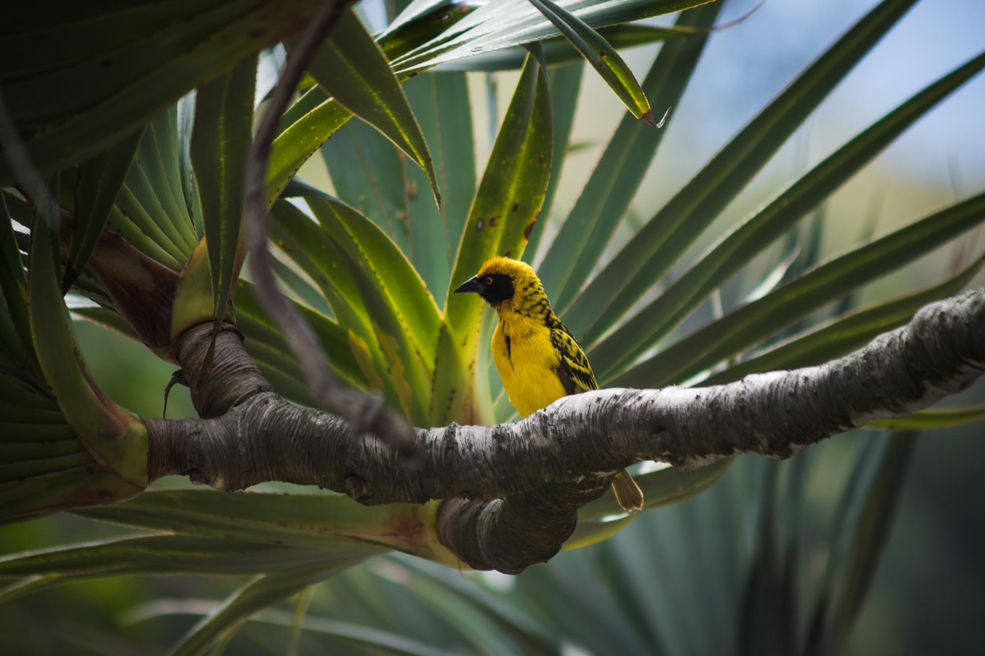 Oiseau jaune sur une brache de vacoa, anse des cascades, la réunion