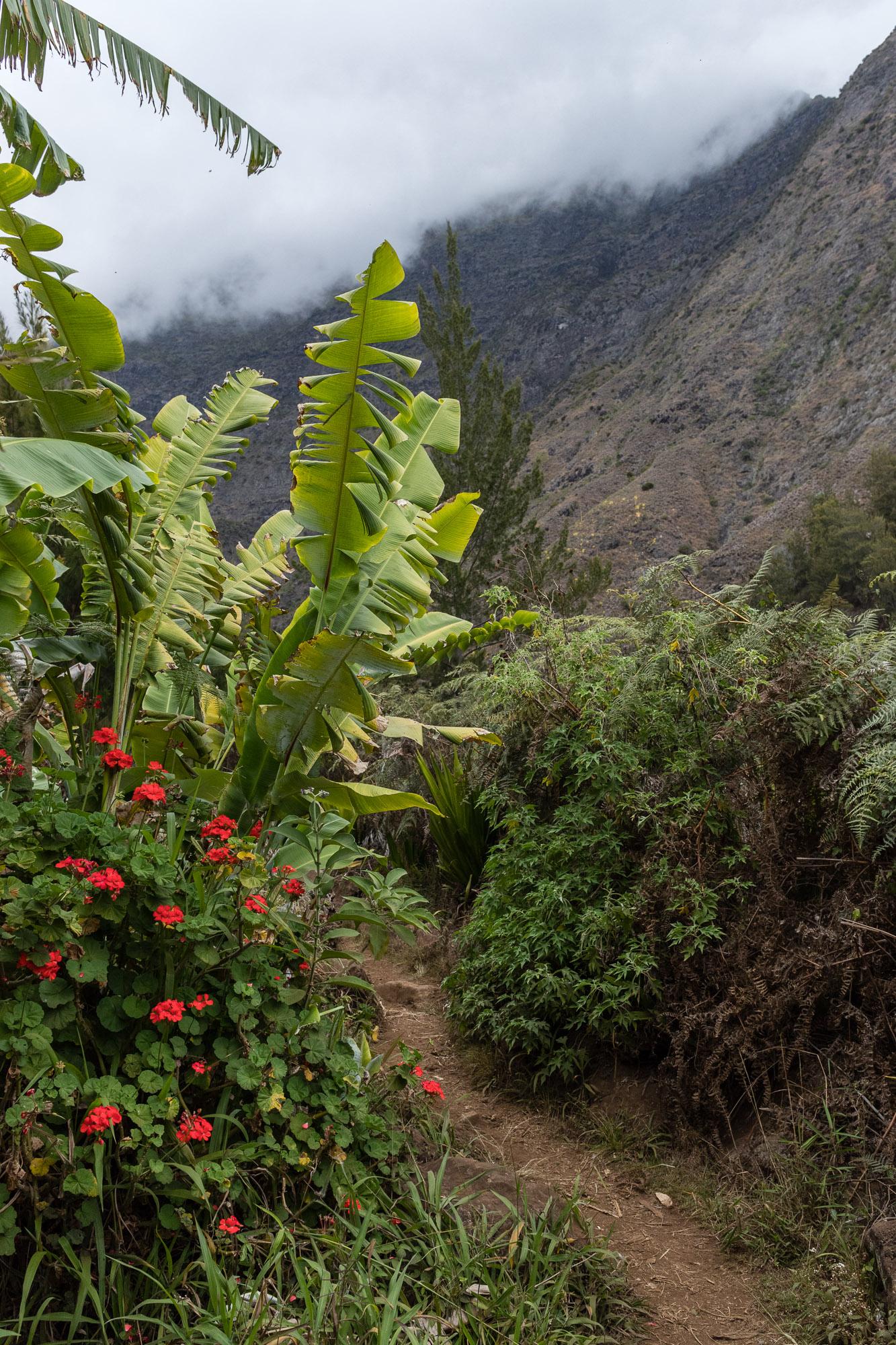 Bananiers et geraniums le long d'un petit chemin de terre de l'ilet des orangers, mafate, la reunion