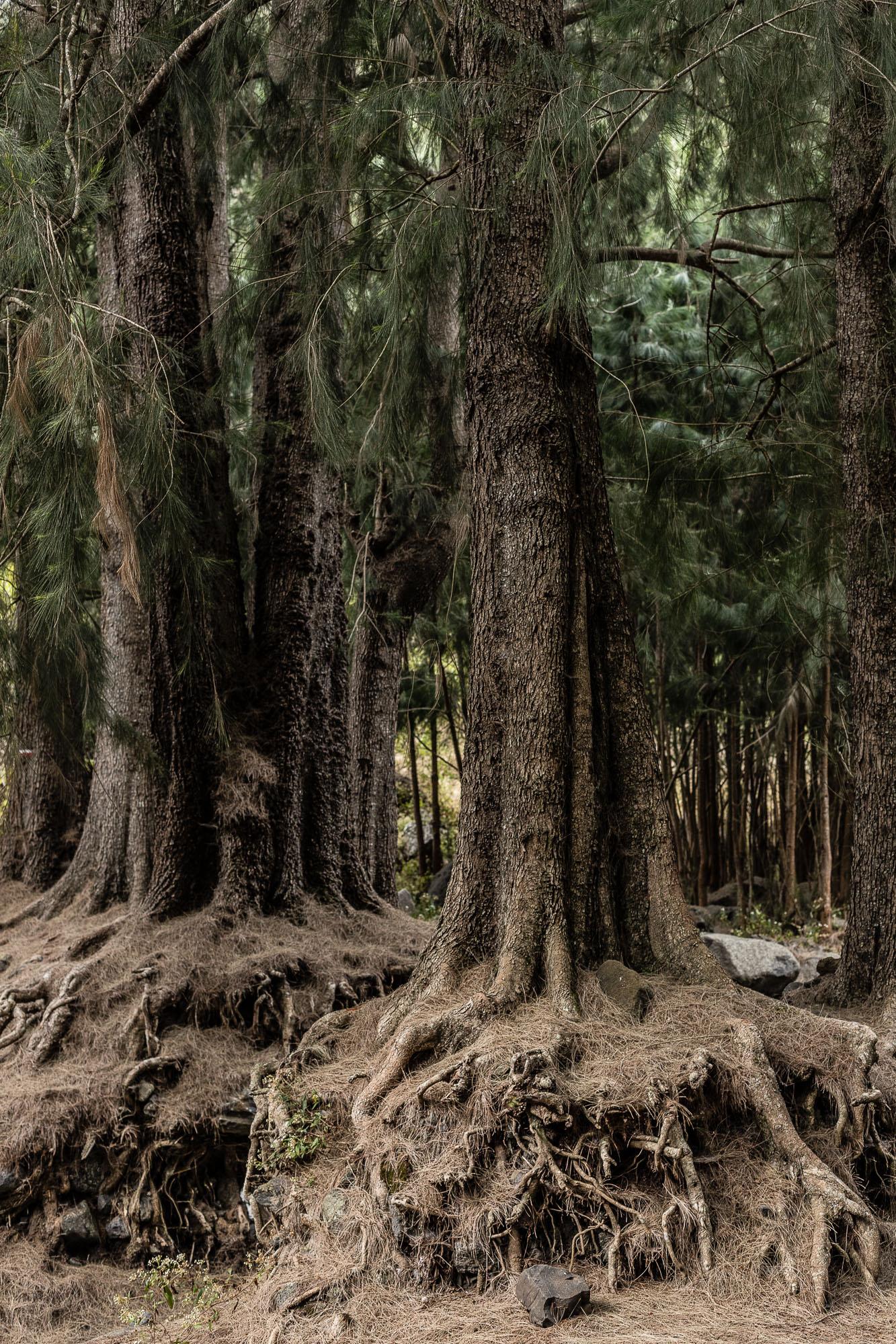 arbres racines dénudées trois roches
