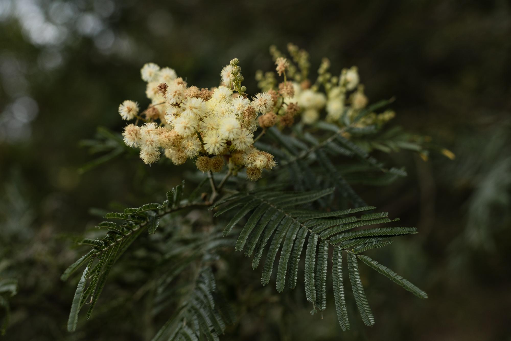 fleur d'acacia mafate