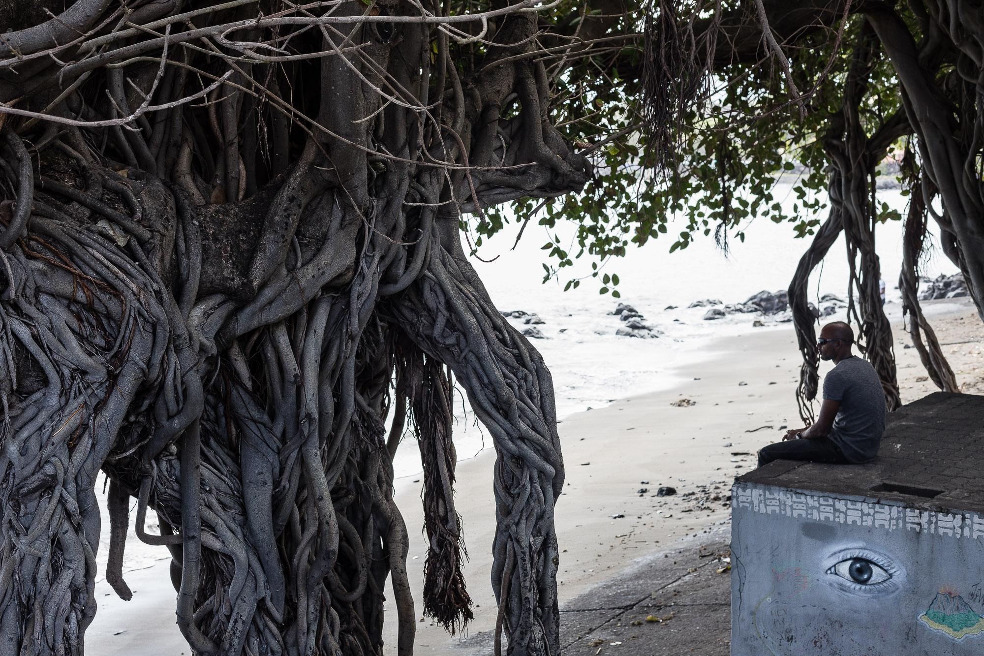 racines des banians, Terre Sainte Saint Pierre, la réunion