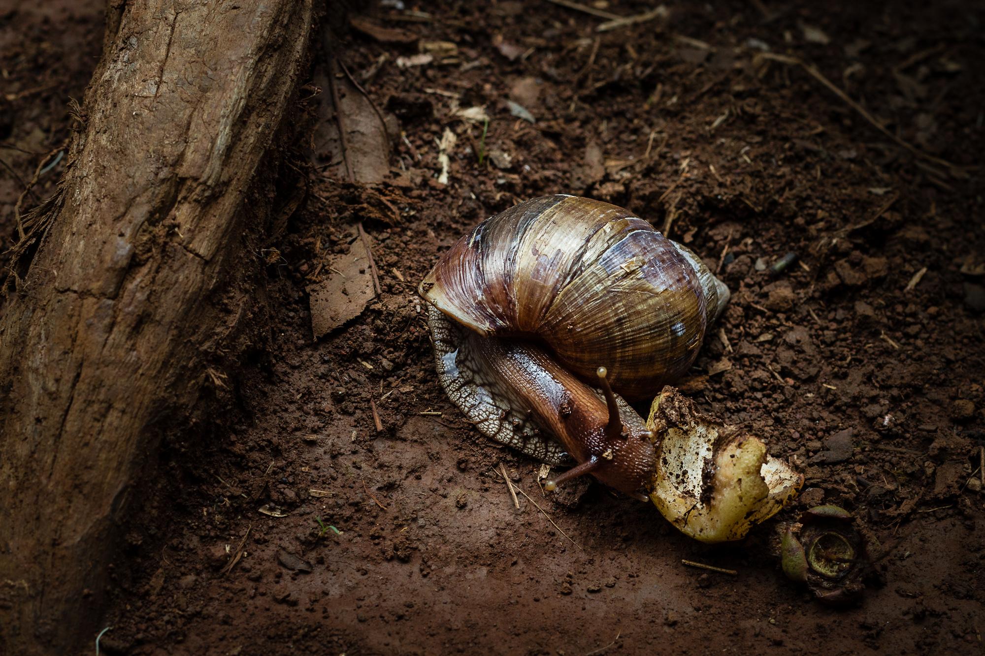 escargot mange un fruit