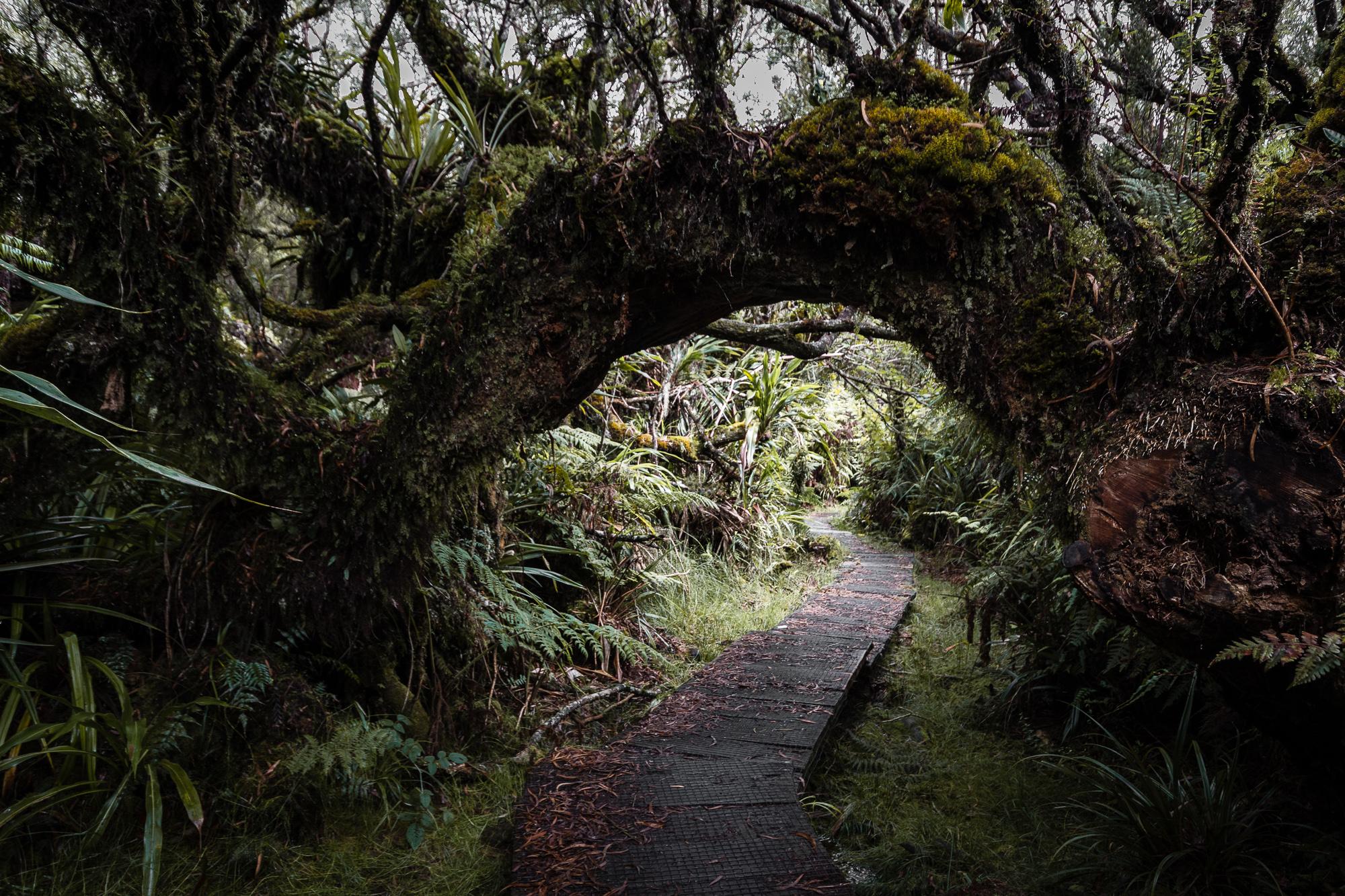 arbre enjambant le chemin foret de belouve