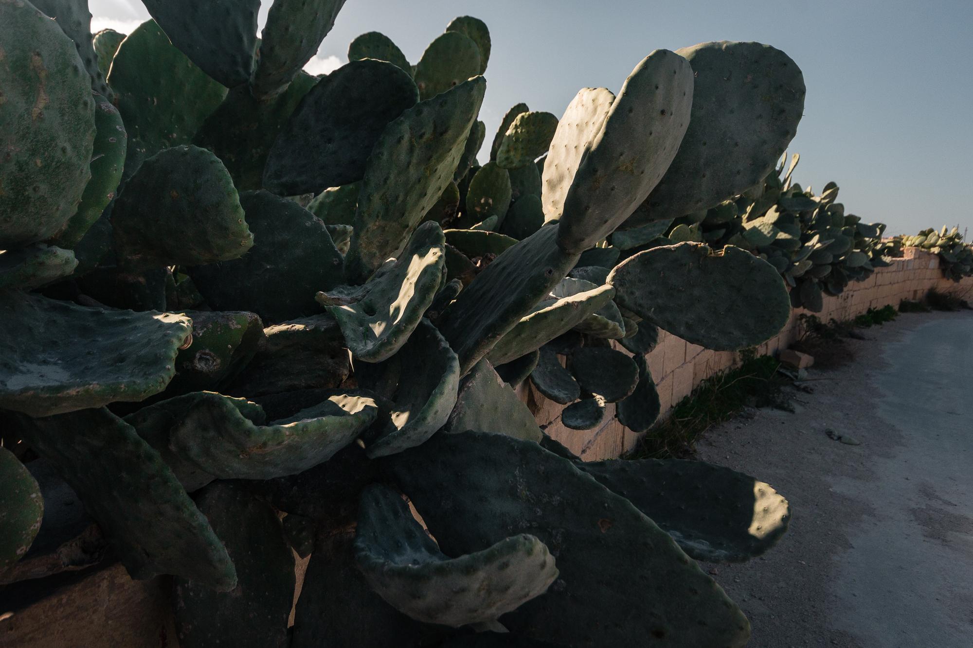 haie de cactus malte